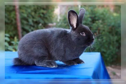 Особенности содержания венских голубых кроликов