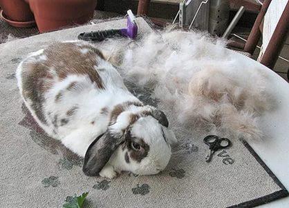 Причины, по которым крольчиха долго линяет