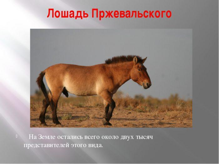 Интересные факты о лошадях Пржевальского