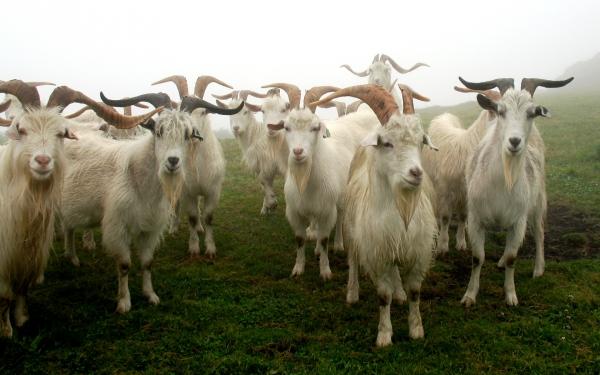 Кашмировые козлы