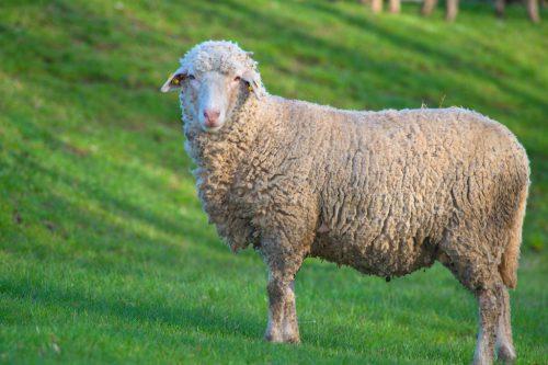 Показатели продуктивности такой породы овец, как прекос