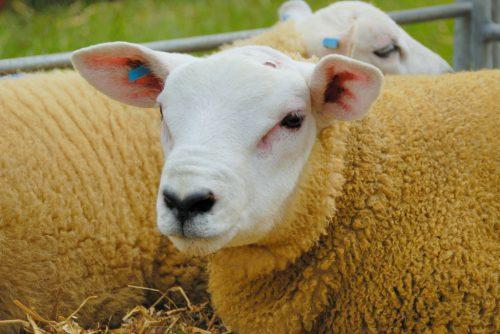 Характеристики породы овец тексель