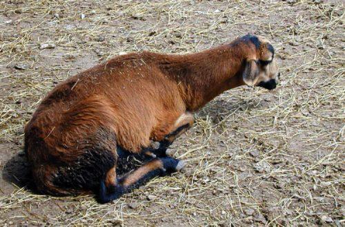 Методы лечения брадзота у овец