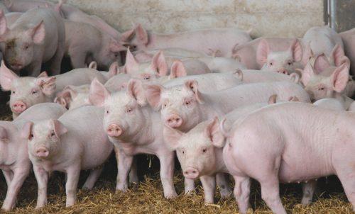 Текущее состояние свиноводства Татарстана