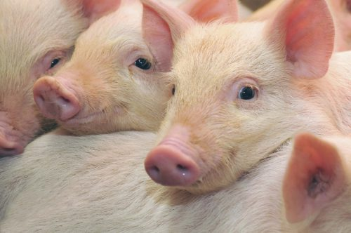В каких странах развито свиноводство?