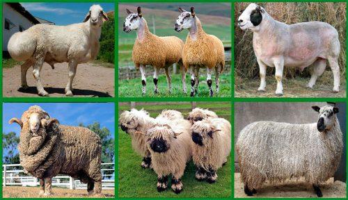 Особенности мясных пород овец