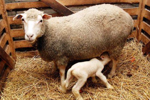 Порода тонкорунных овец