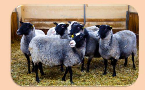 Характеристики романовской породы баранов и овец