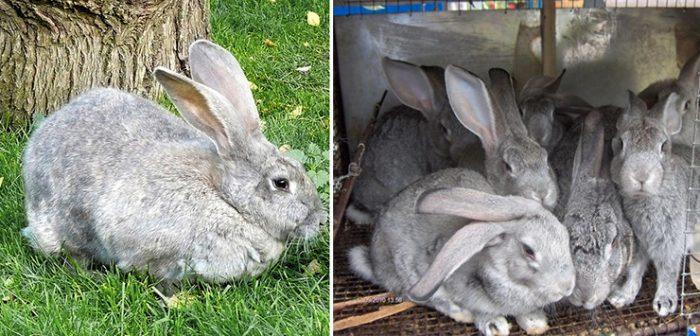 Как отличить крола от крольчихи?