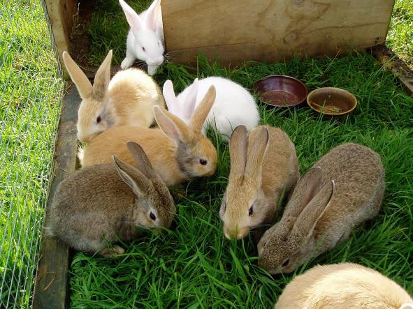 Как развивают кролиководство в домашних условиях?
