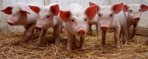 История развития свиноводства в США