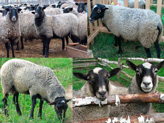 Продаем шерсть с овец пароды романовская и курдючные.