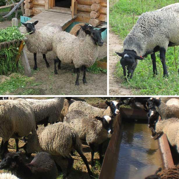 Лучшие породы овец и баранов для разведения
