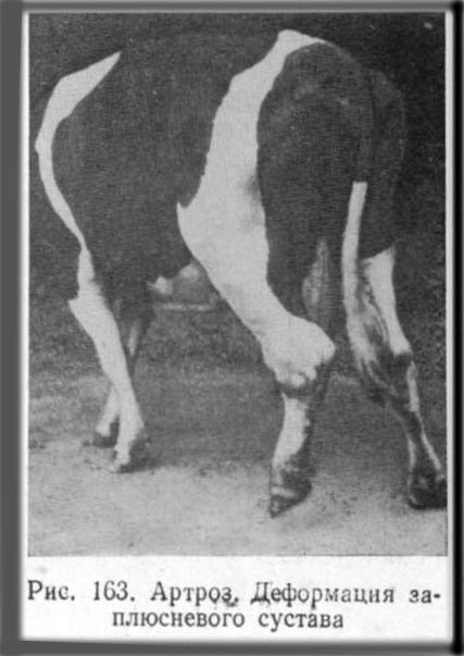 Артрит у крупного рогатого скота