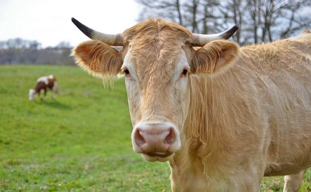 Изображение - Бурсит сустава у коровы Korova-boleet