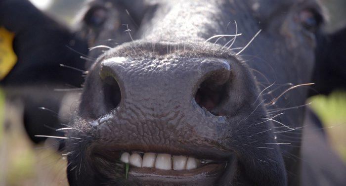 Зуборон у коровы: симптомы, сколько длится, болезнь телёнка