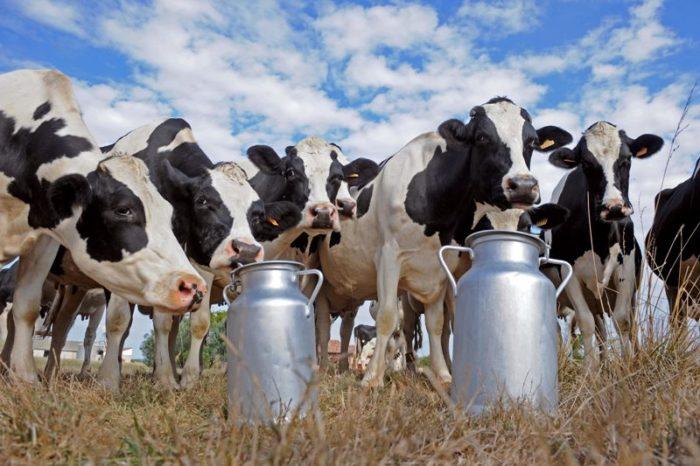 Как можно повысить удой молока у коровы в домашних условиях?