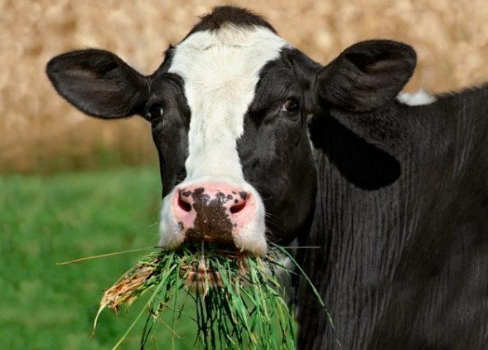 Особенности кормления коров молочного направления