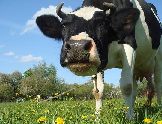 Причины, по которым у коровы течет молоко из вымени
