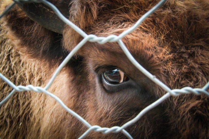 Симптомы и лечение лептоспироза у коров