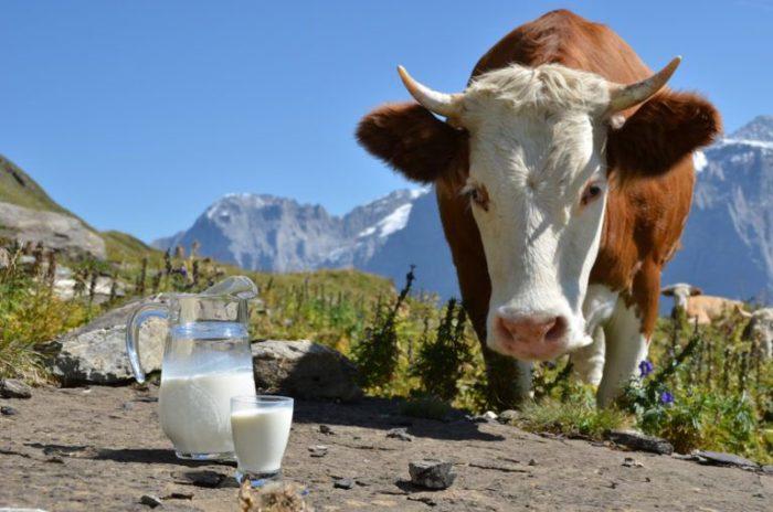 Сколько молока в день дает корова?