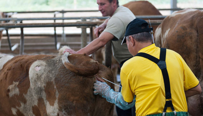 Скрытый эндометрит у коров