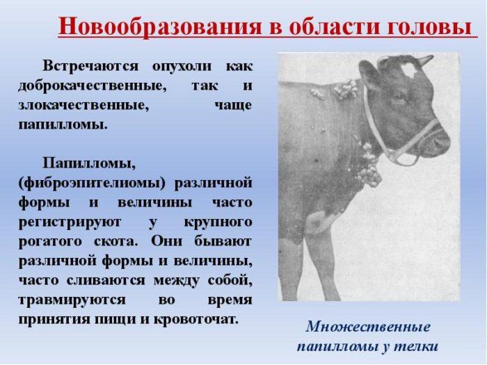 Папилломы у коров