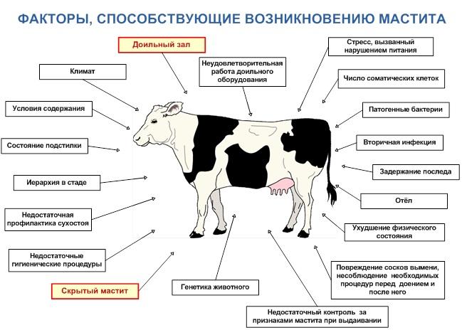 хронический мастит у коров