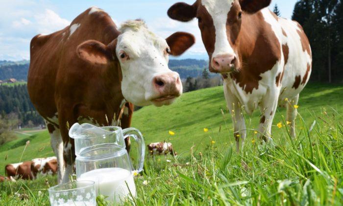 Причины, по которым у коровы нет молока
