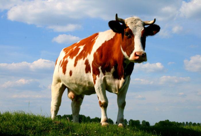 Симптомы и лечение катаральной горячки у коровы