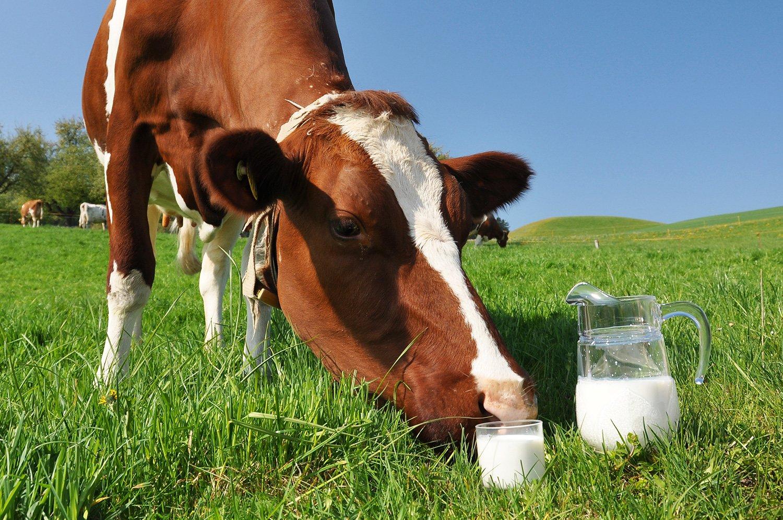 Из за чего у коровы с одной дойки ковь