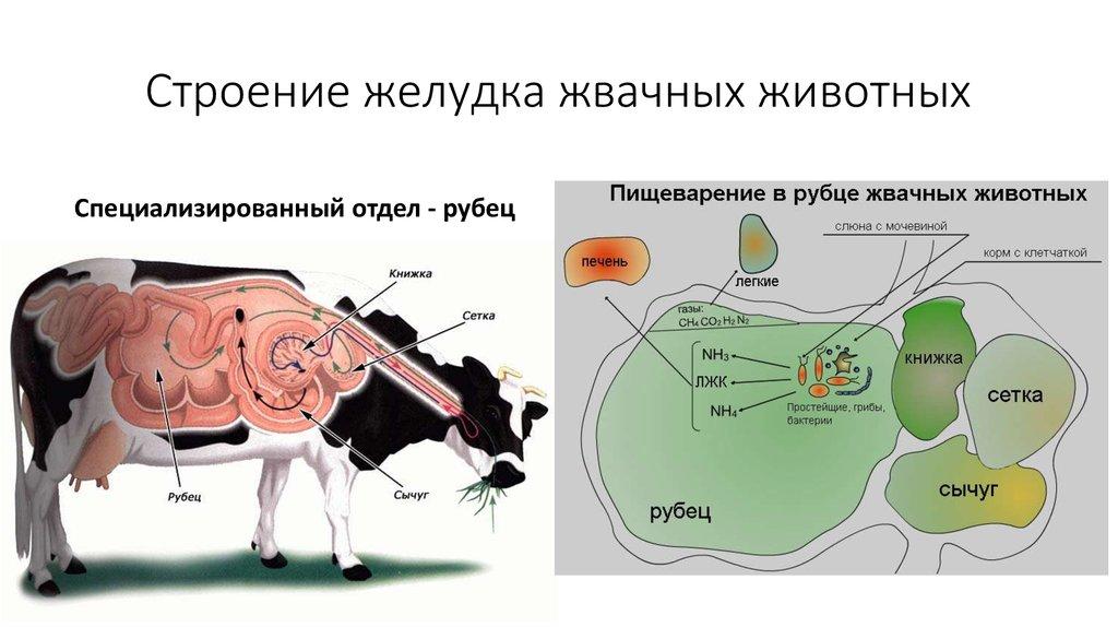 картинки желудка коровы сейчас
