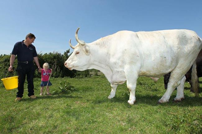 Большая корова