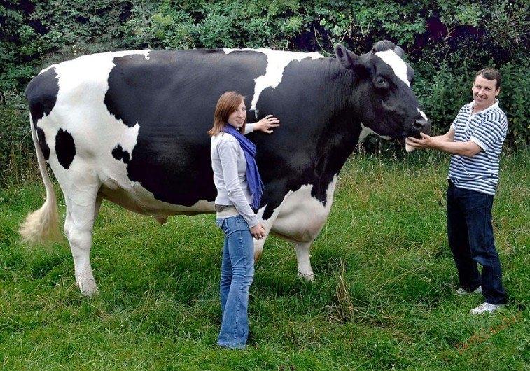 чем кормить быков