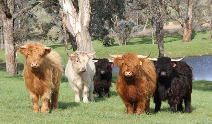 корова фото вислоухая