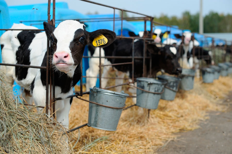 добавки для быстрого роста быков