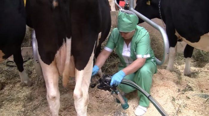 Как быстро и безболезненно приучить корову к доильному аппарату?