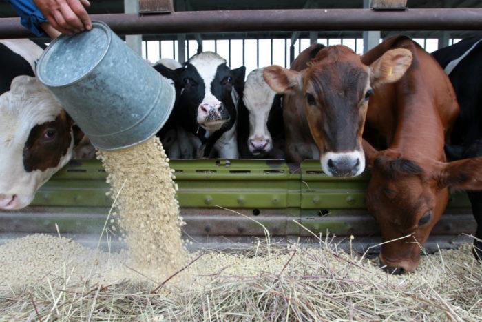 Корова не ест и не пьет Скорее выясните причину