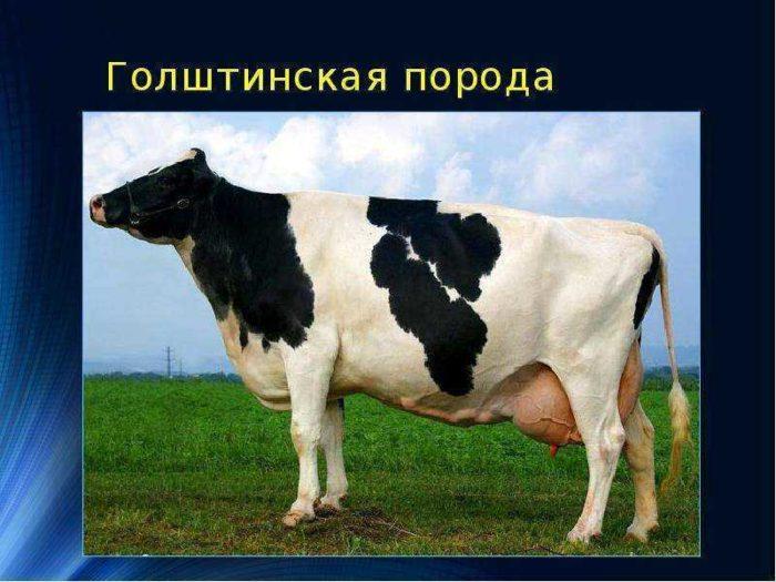 Основные характеристики голштино-фризской породы коров