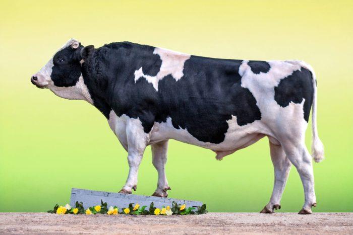 Достоинства быков голштинов