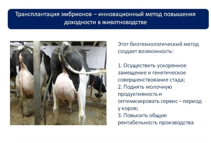 Суть эмбрионального оплодотворения коров