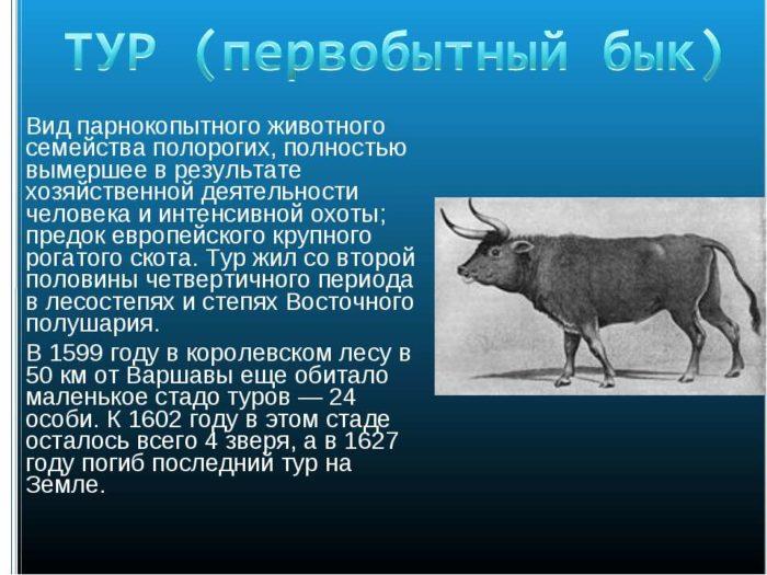 Описание пород домашних быков