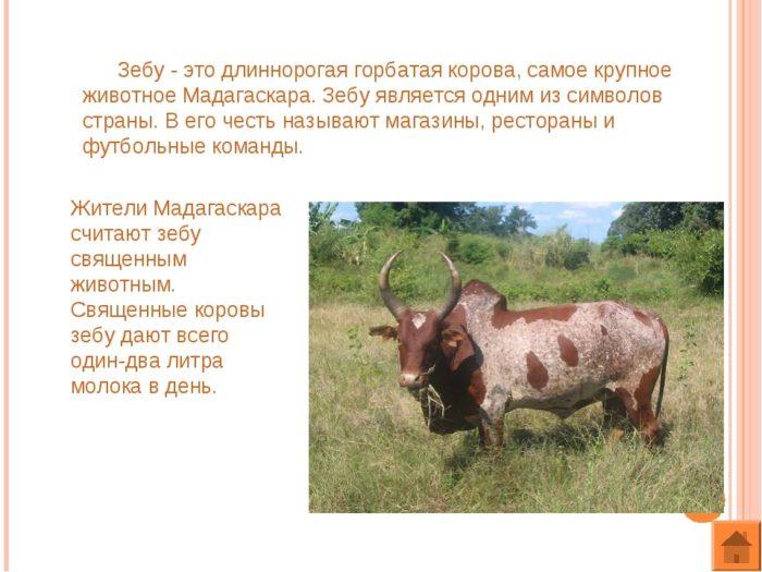 Особенности коров зебу