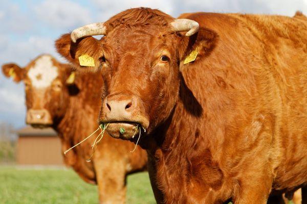 У коровы не работает желудок