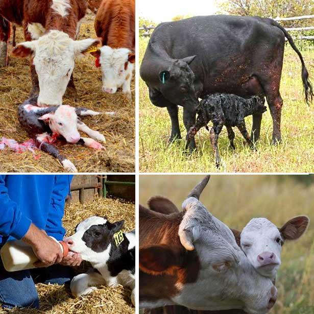 5 и 6 дойка у коровы