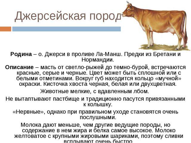 Джерсейская корова характеристики породы