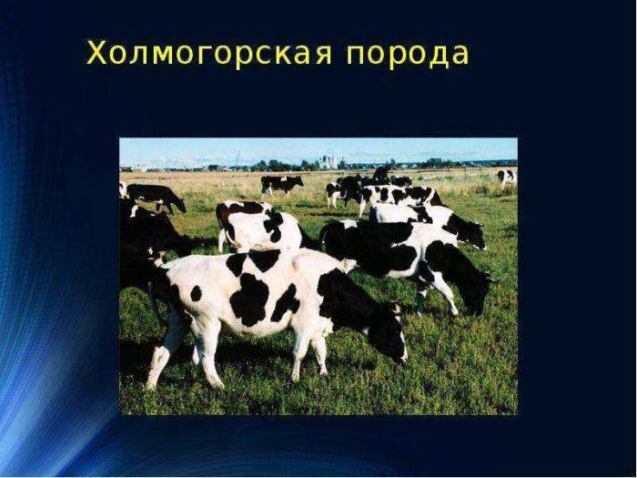 Особенности ухода за холмогорской породой коров