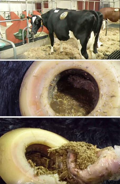 Зачем коровам нужна дырка в боку?