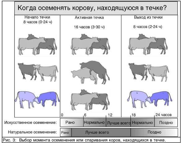На какой день после отёла можно осеменять корову?
