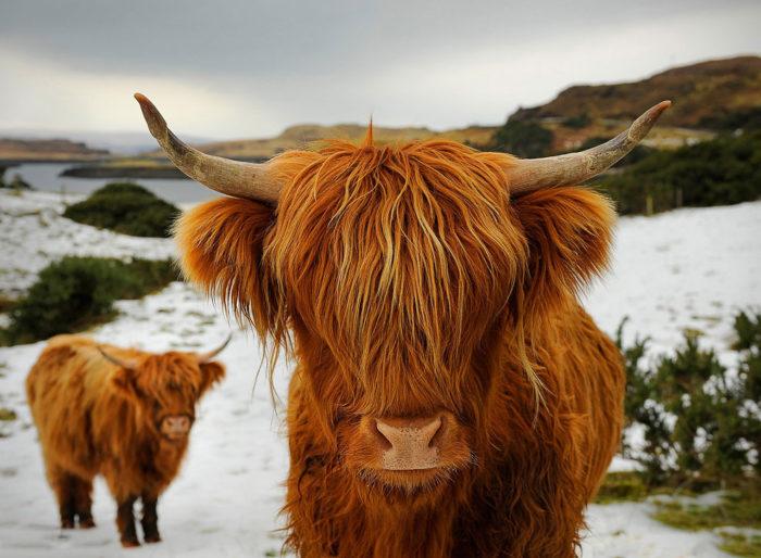 Показатели продуктивности шотландских коров